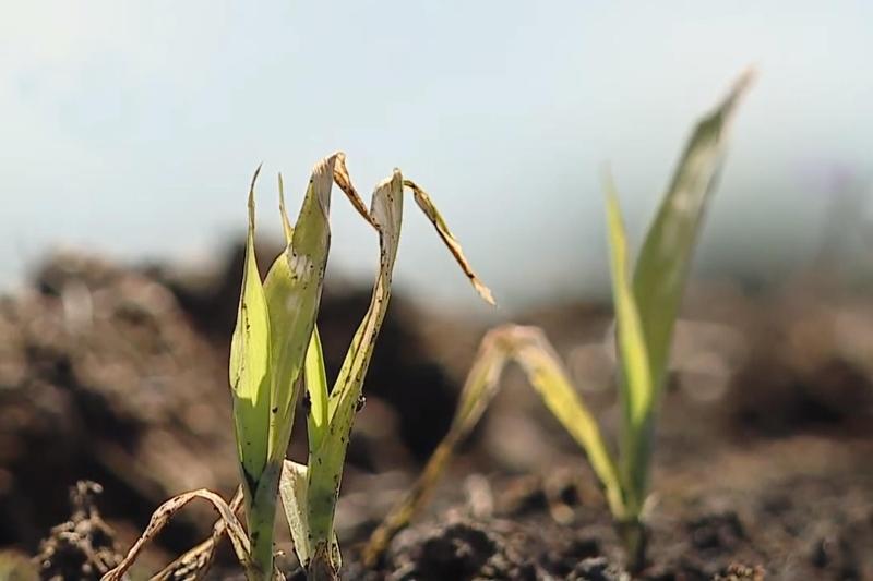 От майских заморозков на Гомельщине пострадало более 24 тысяч гектаров кукурузы - фото