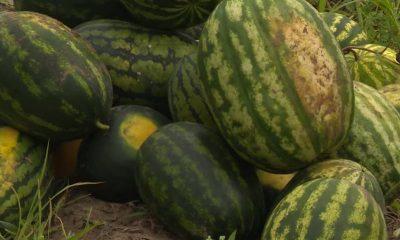 В Могилевской области высадили арбузы - фото
