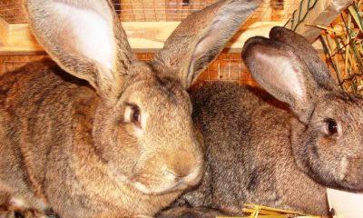 Пушистые великаны или как под Дятлово разводят гигантских кроликов - фото