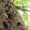 Фото: на Гомельщине создают популяцию больших дубовых усачей