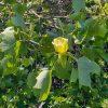 тюльпановое дерево - фото