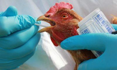 В Бельгии обнаружена вспышка птичьего гриппа H5N5 - Фото