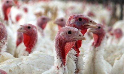 В Англии уничтожат более 10 тыс. индеек из-за вспышки птичьего гриппа H5N5 - Фото