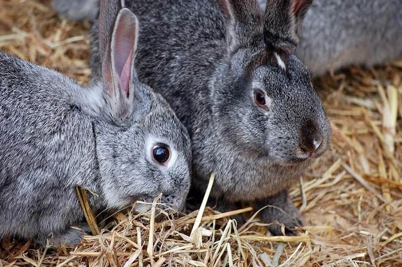 В ВОЗ допустили распространение коронавируса COVID-19 через барсуков и кроликов - Фото