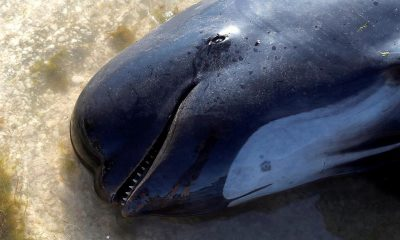 В Новой Зеландии 49 дельфинов-гринд выбросились на отмель - Фото