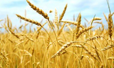 Почему из Беларуси запретили вывозить зерновые