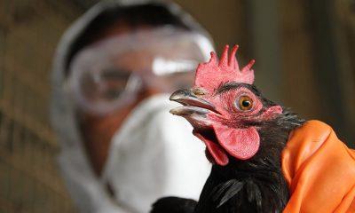 В Китае выявили 1-й в мире случай заражения человека птичьим гриппом H10N3 - Фото