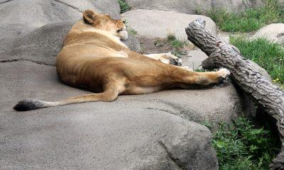 В индийском зоопарке умерла львица с положительным тестом на коронавирус COVID-19 - Фото